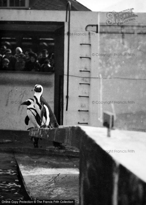 Photo of London Zoological Gardens, Penguins c.1935