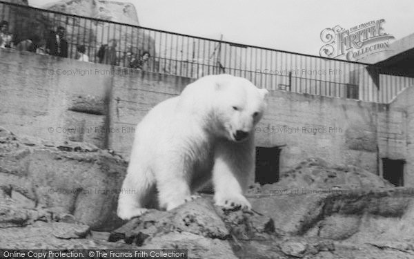 Photo of London Zoological Gardens, The Polar Bear c.1965