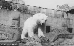 London Zoological Gardens, The Polar Bear c.1965