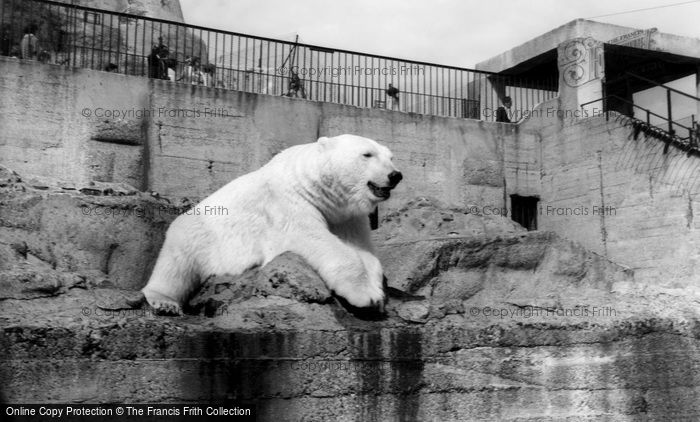 Photo of London Zoological Gardens, The Polar Bear c.1965