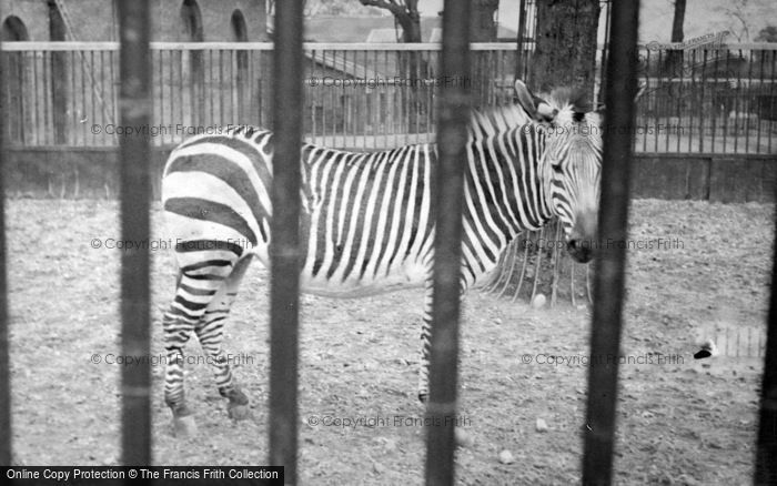 Photo of London Zoological Gardens, Zebra c.1935