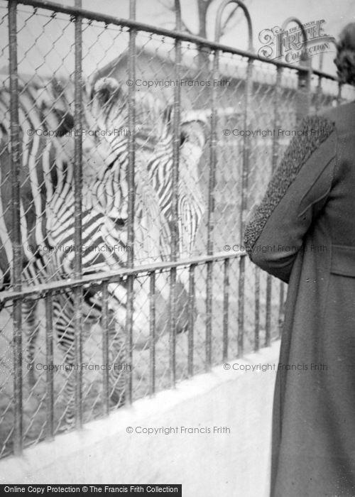Photo of London Zoological Gardens, Zebras c.1935