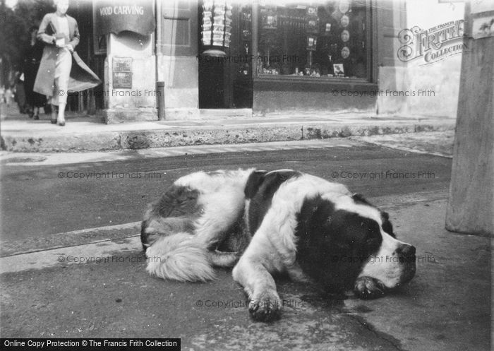 Photo of Lucerne, St Bernard Dog c.1935