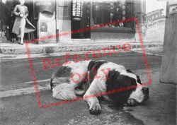 St Bernard Dog c.1935, Lucerne