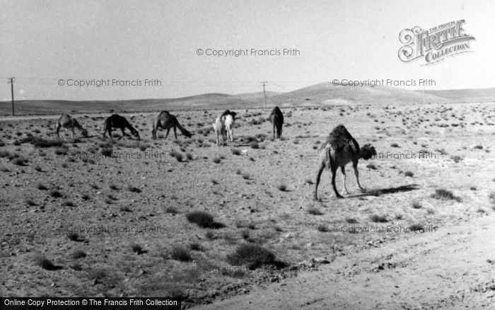 Photo of Ma'an, Camels In The Desert 1965