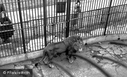 Maidstone, Zoo Park, African Lion c.1955
