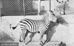 Maidstone, Zoo Park, Grants Zebra c.1955