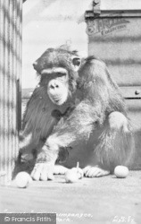 Maidstone, Zoo Park, Martha The Champanzee c.1955