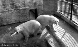 Maidstone, Zoo Park, Polar Bears c.1955