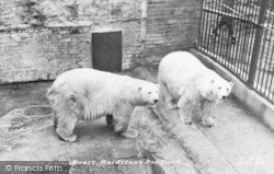Maidstone, Zoo Park, The Polar Bears c.1955