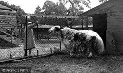Maidstone, Zoo Park, The Yak c.1955