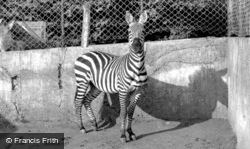 Maidstone, Zoo Park, The Zebra c.1955