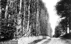 Beech Hedge 1900, Meikleour