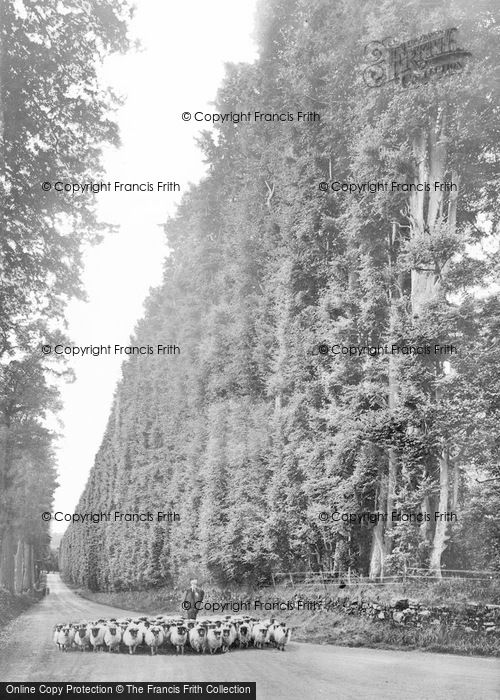 Photo of Meikleour, The Beech Hedge c.1930