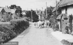 Melcombe Bingham, Hartfoot Lane, A Farmer Driving Cows c.1955