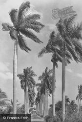 Avenue Of Royal Palms c.1930, Miami