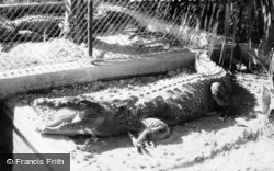 Crocodile Billie Of Century Of Progress c.1933, Miami