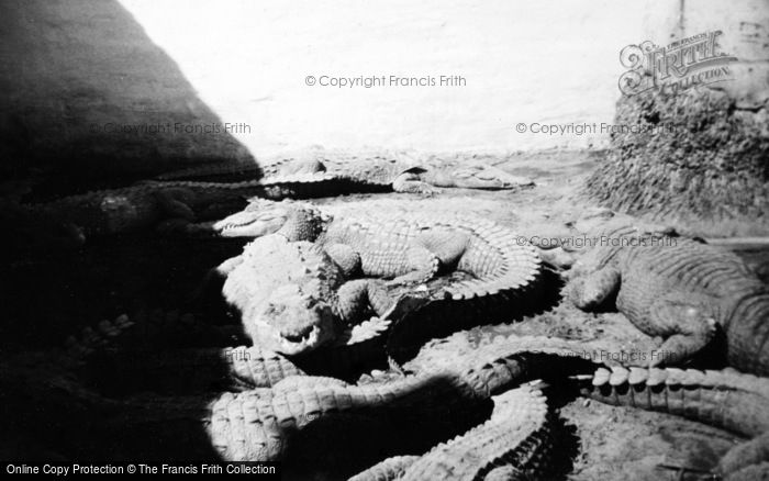 Photo of Miami, Musa Isle, Alligators c.1935