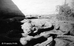 Musa Isle, Alligators c.1935, Miami