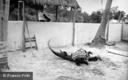 Seminole Alligator Wrestler c.1935, Miami
