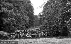 Midhurst, Cowdray Park, Deer In Lime Tree Bottom 1921