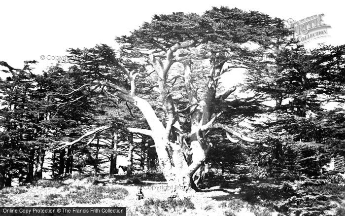Photo of Mount Lebanon, The Largest Of The Cedars 1857