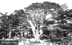 The Largest Of The Cedars 1857, Mount Lebanon