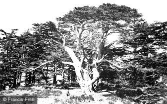 Mount Lebanon, the Largest of the Cedars 1857