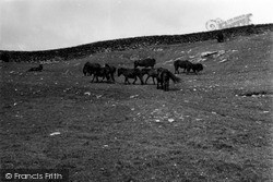 Shetland Ponies 1954, Mousa