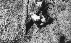 Duckwing Old English Gamecock At Ashe House c.1965, Musbury