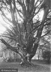 New Forest, Bolderwood Beech 1890