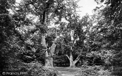 New Forest, Bolderwood, King And Queen Oaks 1890