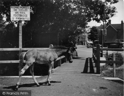 New Forest, Foal c.1955