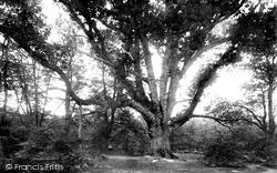 New Forest, Knightwood Oak 1890
