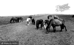 New Forest, New Forest Ponies c.1955