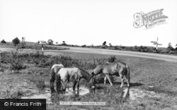 New Forest, New Forest Ponies c.1960