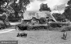 New Forest, Pigs Near Brook c.1955