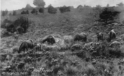 New Forest, Ponies 1913