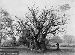 Newland, The Newland Oak c.1900