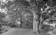 Newlands Corner, Ancient Yews In A Woodland Glade 1928