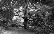 Newlands Corner, Historical Yews, As Spoken Of In The Domes Day Book 1928