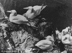North Berwick, Bass Rock, Gannets Nesting c.1960