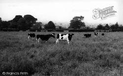 Cows In A Field c.1960, Northallerton