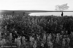 Orkney, Lupins, Loch Of Clumly 1954