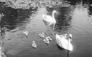 Osterley, Swans on the Lake c1965