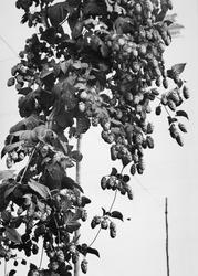 Paddock Wood, A Hop Vine c.1950
