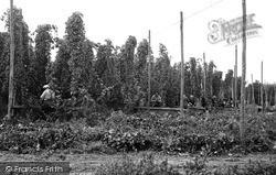 Paddock Wood, Hop Picking c.1955