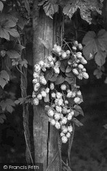 Paddock Wood, Hops c.1950