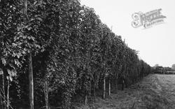Paddock Wood, Hops c.1955