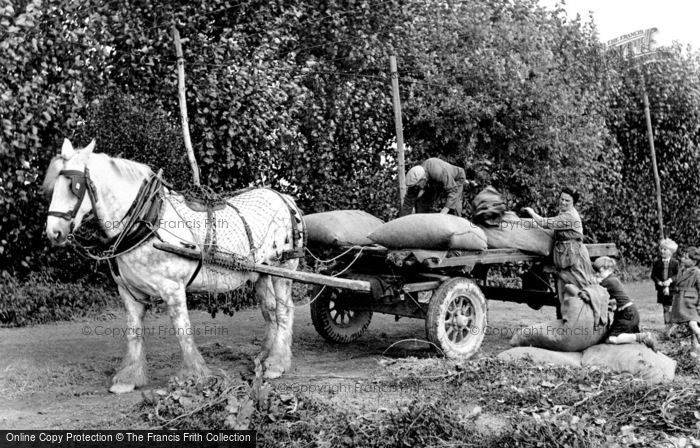 Photo of Paddock Wood, Loading Hops For The Oast Houses 1950